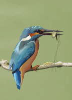Common Kingfisher Digital Painting by Ihammerli