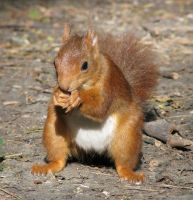 Wild animal 206-sweet squirrel by Momotte2stocks