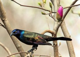 5x7 grackle by clippercarrillo