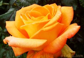 Orange Rose 068 by Eolhin