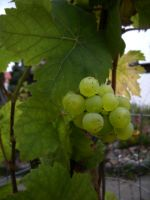 the first wine on the vine by feldrand
