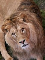 Barbary Lion 04 by animalphotos