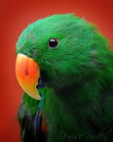 Eclectus by DeniseSoden