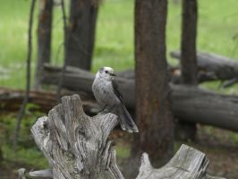 Gray Jay by Swen-Swenson