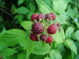 Blackberries by Gr8-Gatensby