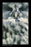 Great Grey Owl by Tinnunculus