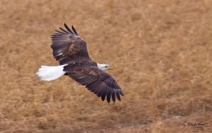 Potsdam Eagle flyby by DGAnder