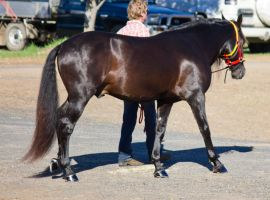 STOCK - 2014 Andalusian Nationals-8 by fillyrox