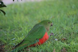 Female King Parrot by sootyalbatross