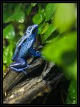 Poison Blue Passion Frog by mym8rick