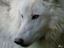 Proud Atilla the Arctic Wolf by Allerlei
