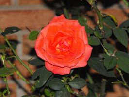 Papa's Rose - DSLR Contest by aderynthemoose