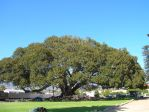 Morton Bay Fig Tree by mit19237