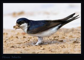 Nest building - House Martin by Jamie-MacArthur