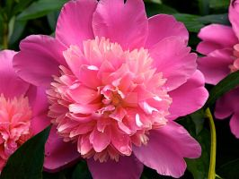 Pink Flower by AquarianPhotography