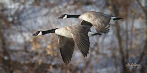 Canada geese in formation by DGAnder