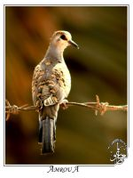 The young Dove by AMROU-A