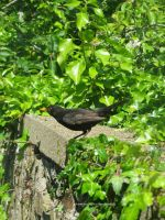 Blackbird on my garden wall by GeaAusten