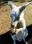 White Roo by Sweetybee