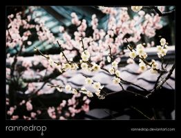 Plum Blossoms At Tokeiji by rannedrop