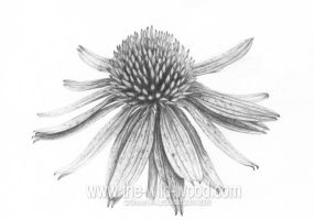 echinacea pencil study by WildWoodArtsCo