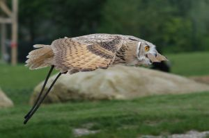 Siberian Eagle Owl by PedroHamers
