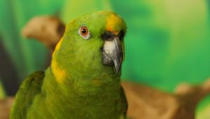 Yellow-naped Amazon by Souzay