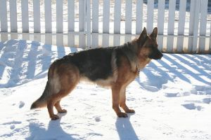 German Shepherd Stock 001 by EssenceOfPerception