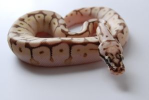 Baby Ball Python 4 by FearBeforeValor