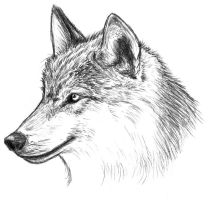 wolf by Amarevia
