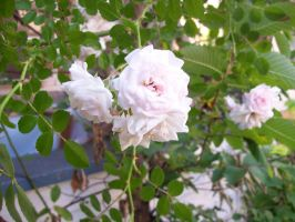 roses 3 by duello
