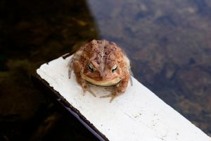 Frog or Toad I'm not sure by photogooroo
