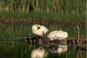 Cygnets Hatched by olearysfunphotos