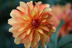 dahlias in Flora garden 22 by ingeline-art
