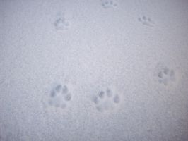 Little Paw Prints In The Snow by Follyfoot