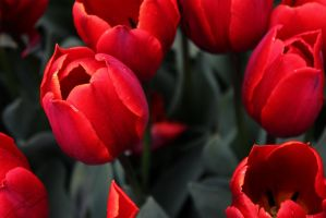 Red tulips by miotoko