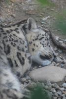snow leopard 2.1 - sleeping by meihua-stock