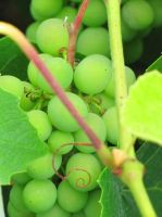 Grapes by Cam-s-creations