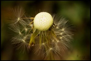 a blowball by Nadine2390