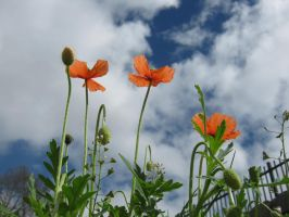 Proud poppies by mdu-ntr