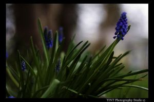Blue Flowers by TINTPhotography