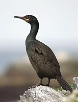 Common Shag 01 by nordfold