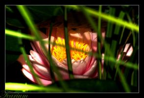 Water Lily  HDR by Fearium