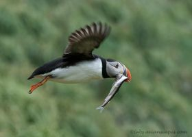 Puffin with capelins by FForns