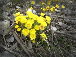 coltsfoot by Theressa