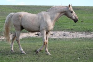 Palomino Stallion 15 by How-You-Remind-Me