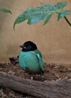 Hooded Pitta by gee231205