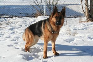 German Shepherd Stock 005 by EssenceOfPerception