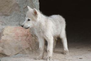 wolf cub in front of cave by Nieme