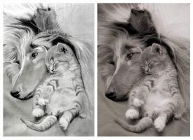 Collie with a Kitten by jolabrodnica
